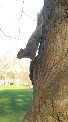 Les écureuils gris de Hyde Park.